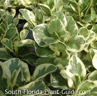 Sometimes Called Quot Baby Rubber Plant Quot Peperomia Has Thick