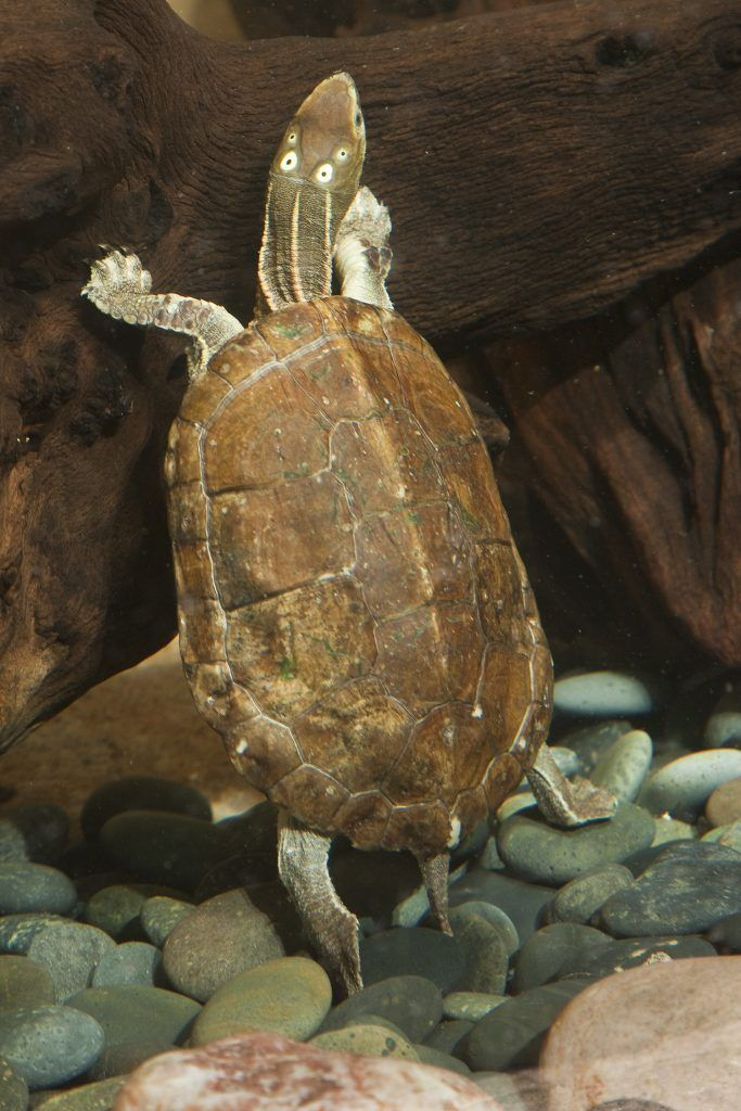 Four Eyed Turtle Sacalia Quadriocellata Native To Southern China