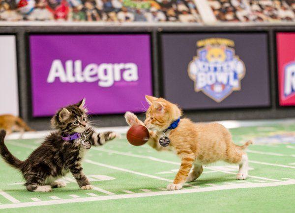 Kittenbowl Hashtag On Twitter Kitten Bowls Kittens Playing Kitten