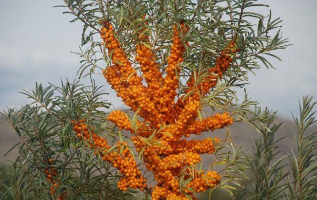 Rokitnik Pospolity Zdrowe Owoce Na Nalewki 80cm 5171584095 Oficjalne Archiwum Allegro Garden Supplies Medical Herbs Perennials