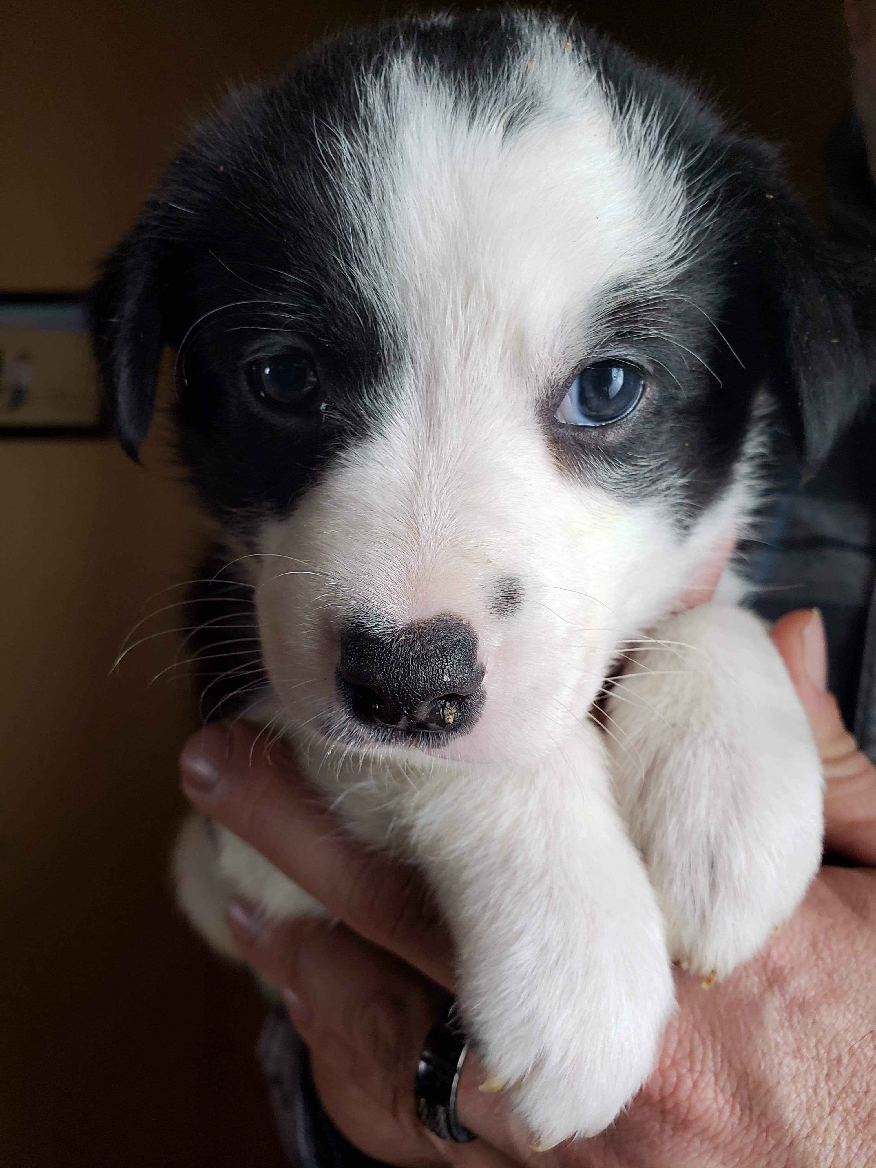 My Baby Girl White Puppies Aussie Mix Puppies