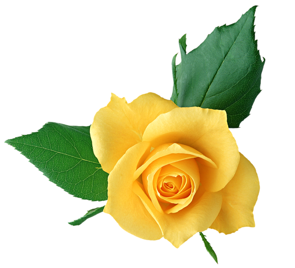 Yellow Rose Png Transparent Picture Yellow Roses Yellow Rose Flower Rose Flower Wallpaper