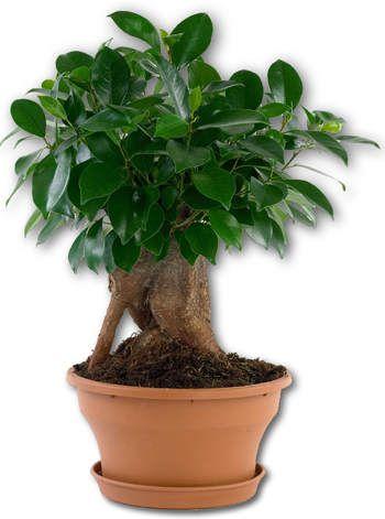 Bonsai Ficus Microcarpa Ginseng | ☆ HOBBY ☆ Green World ...