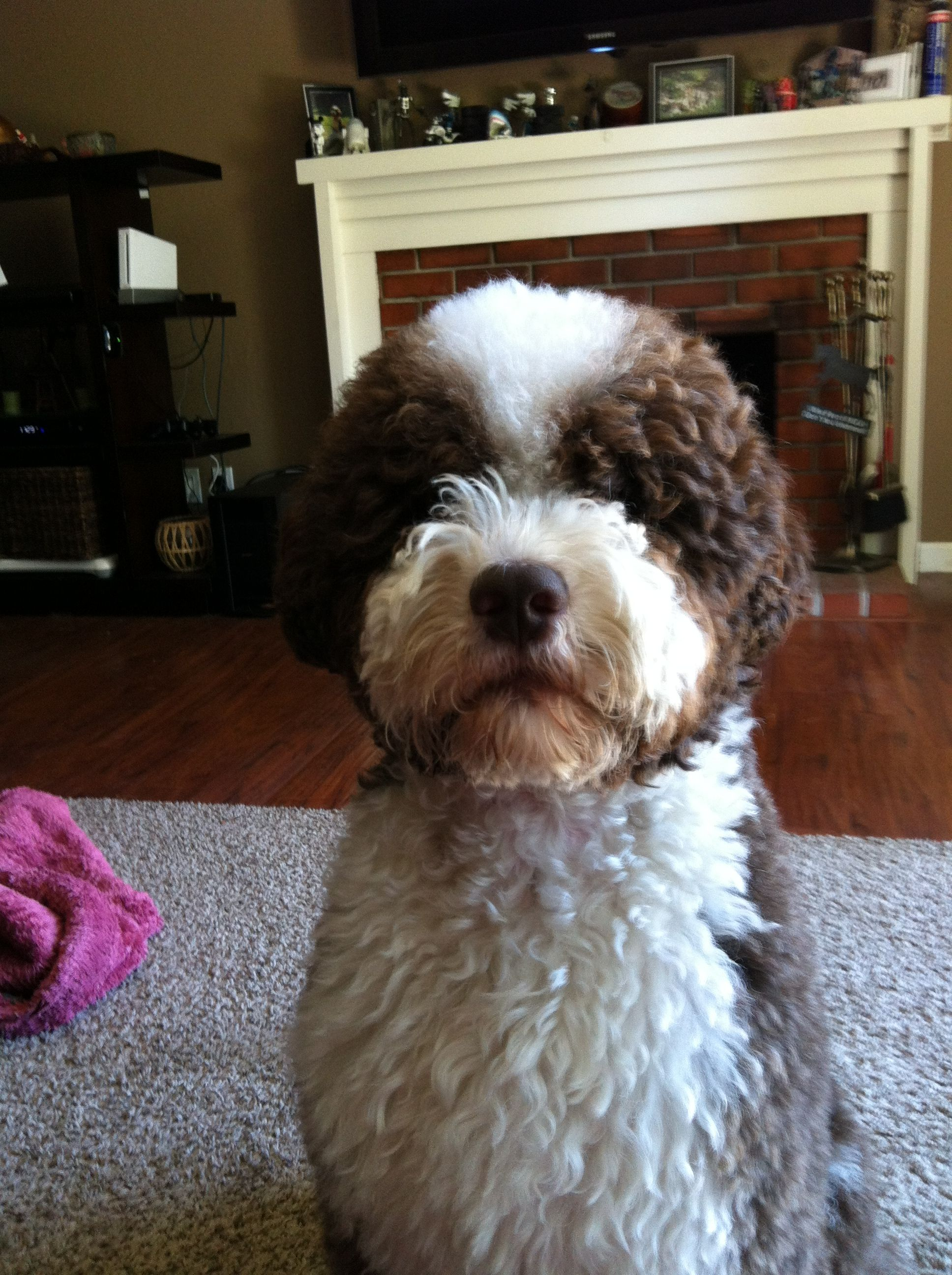 Portuguese Water Dog Brown And White : portuguese, water, brown, white, Portuguese, Water, Reminds, Brown, White, PWD!!, Dogs,, Puppies