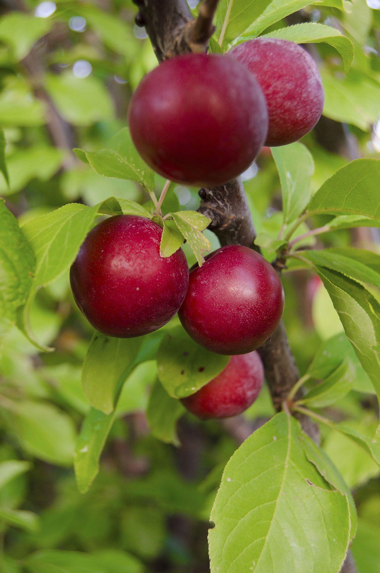 Santa rosa plum tree at backyard fruit fruit trees for Fruit trees