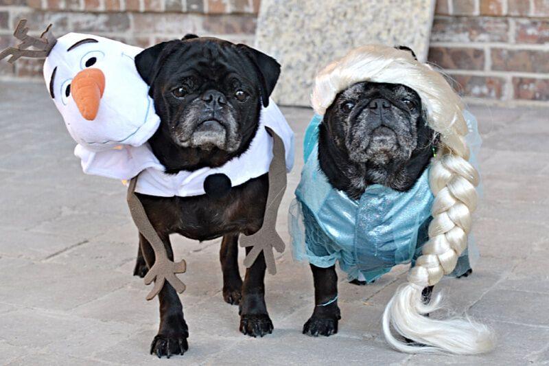 World Pug Day And Pug O Ween In Dallas Texas Pugs Pug Life