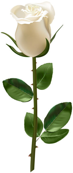 Rose With Stem White Transparent Png Image Amazing Flowers Beautiful Rose Flowers Lotus Flower Pictures