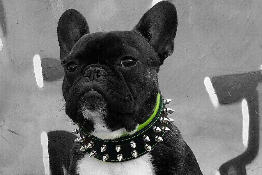 Bulldog puppy dry dog food leather dog collars leather