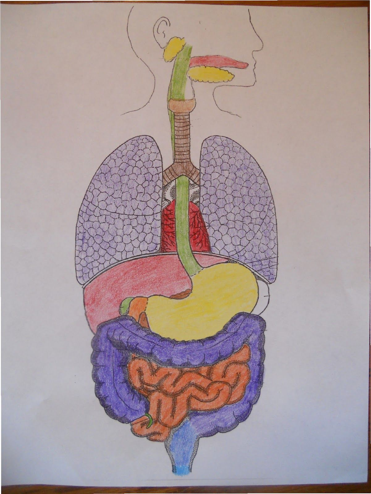 Homeschoolers resources apologia general science module 13 the homeschoolers resources apologia general science module 13 the human digestive system ccuart Choice Image