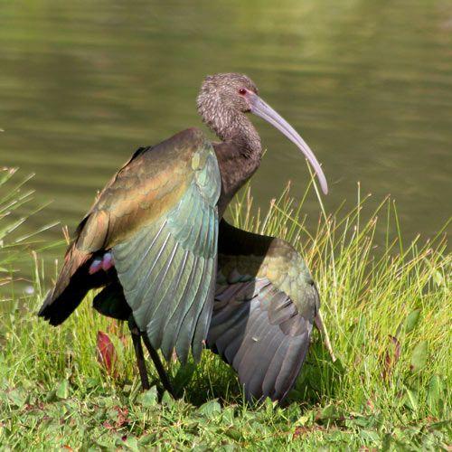 The white-faced ibis (Plegadis chihi)