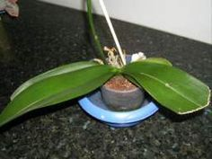 Conseils D Arrosage Pour Les Orchidees Comment Arroser Une