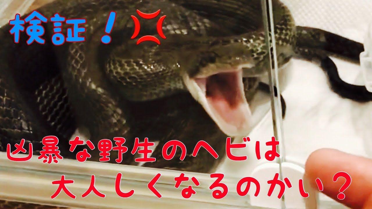 アオダイショウの特徴と飼育方法 詳しい生態や毒性の有無 生息地は Woriver アオダイショウ シマヘビ 両生類