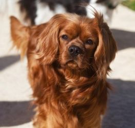 Rusty Is An Adoptable Cavalier King Charles Spaniel Dog In Haslet Tx Meet Rusty A Very Cavalier King Charles King Charles Cavalier Spaniel Puppy King Charles