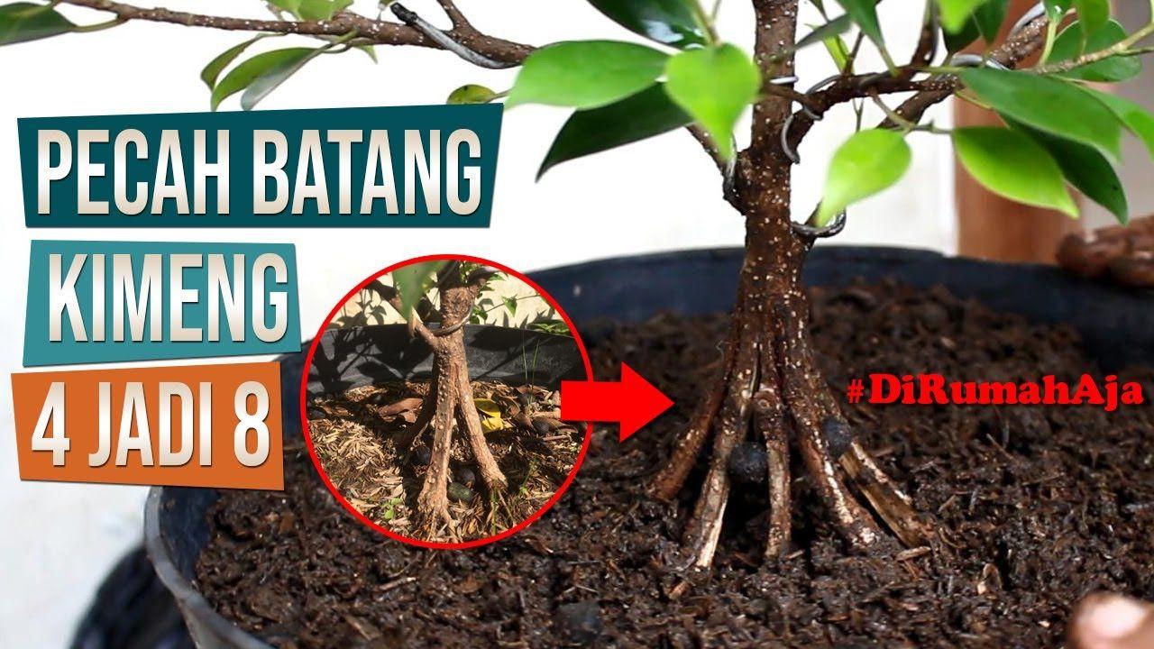 Cara Pecah Batang Bahan Bonsai Kimeng Dari 4 Pecahan Menjadi 8 Pecahan Bonsai Ficus Pecahan
