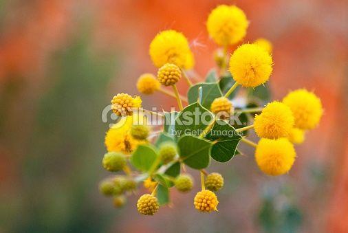Alice springs acacia flowers google search central australian flower alice springs mightylinksfo