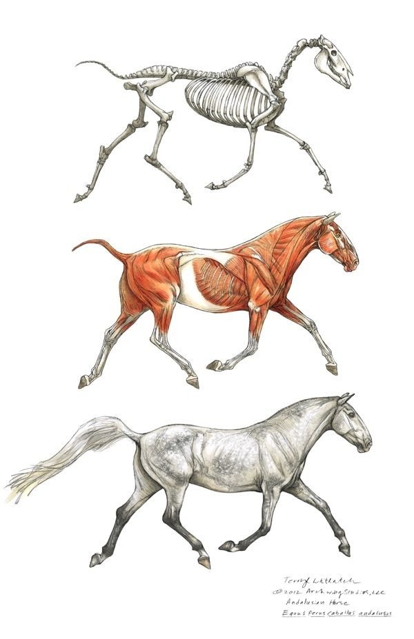 Horse structure | Animal Reference | Pinterest | Horse, Animal ...