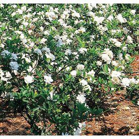 19 98 2 25 Gallon White Gardenia L5150 Item 94886 Height