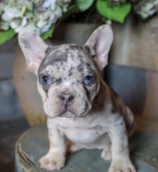 French Bulldog Puppies For Sale Eastern Ohio French Bulldog