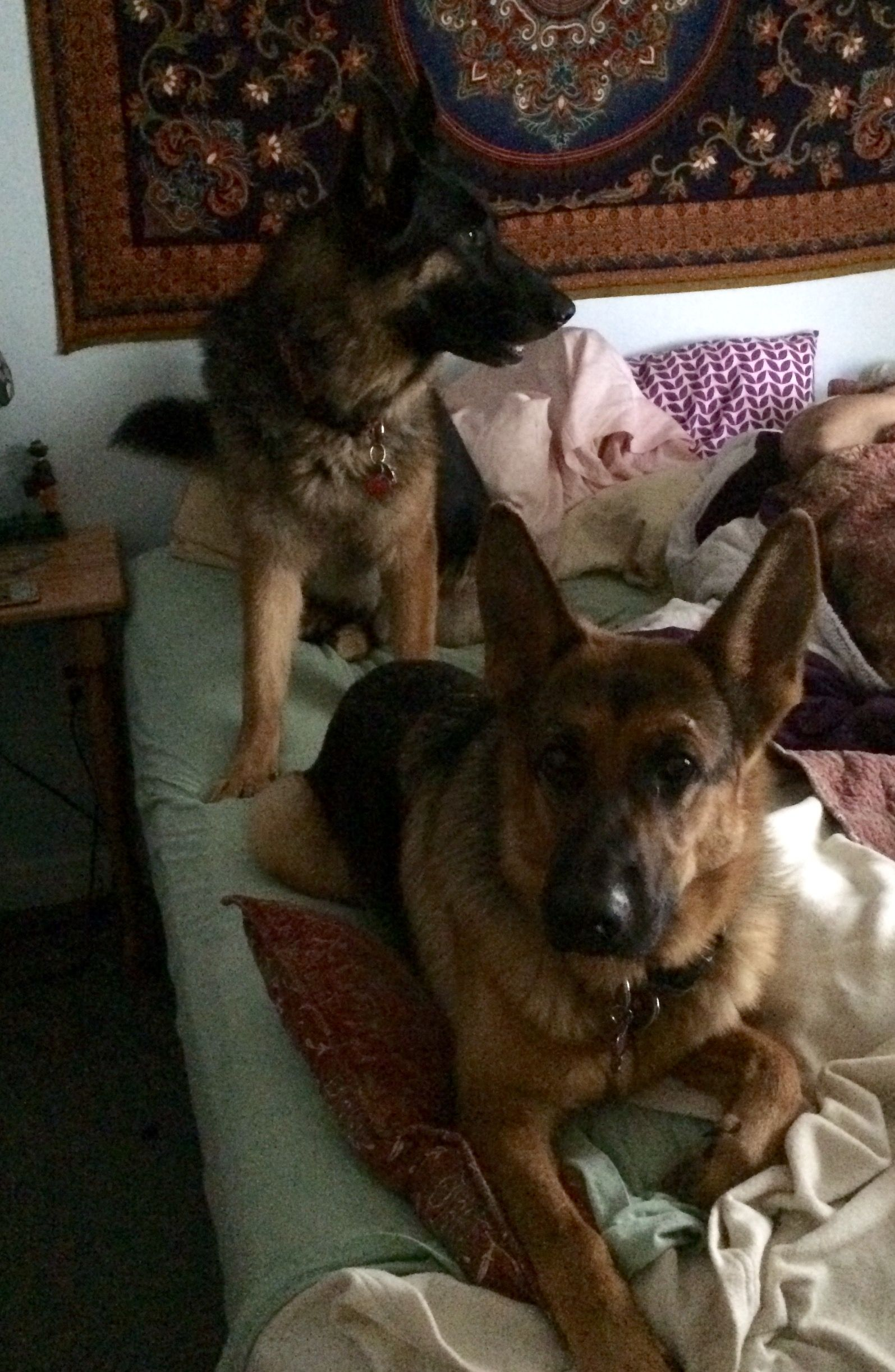 Pin By Linda Bason On German Shepherds Big And Small German