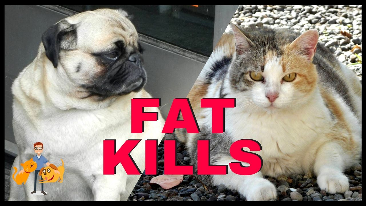 The Dangers Of Pet Obesity Should Not Be Underestimated An