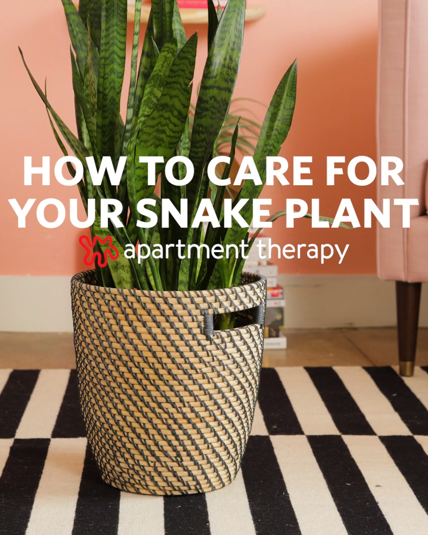 Photo of How To Grow and Care For Your Snake Plant