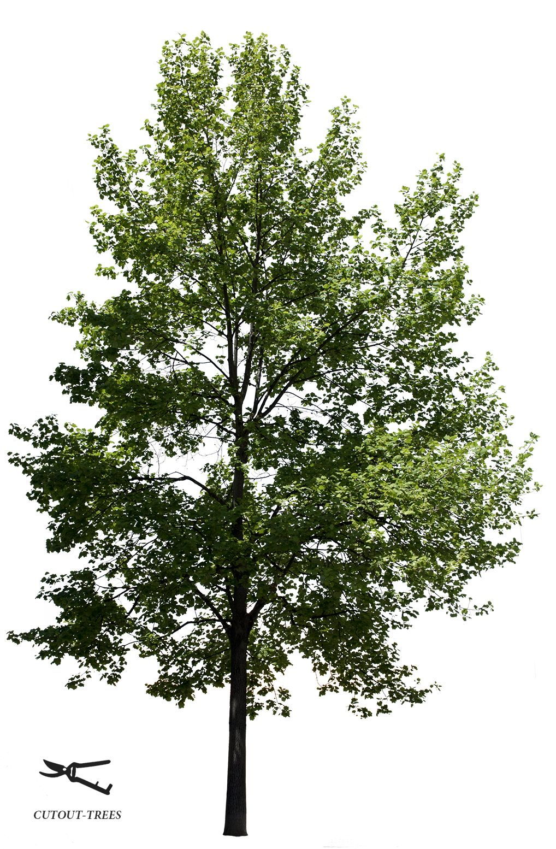 Liriodendron Tulipifera Ii Tree Photoshop Trees Top View Landscape