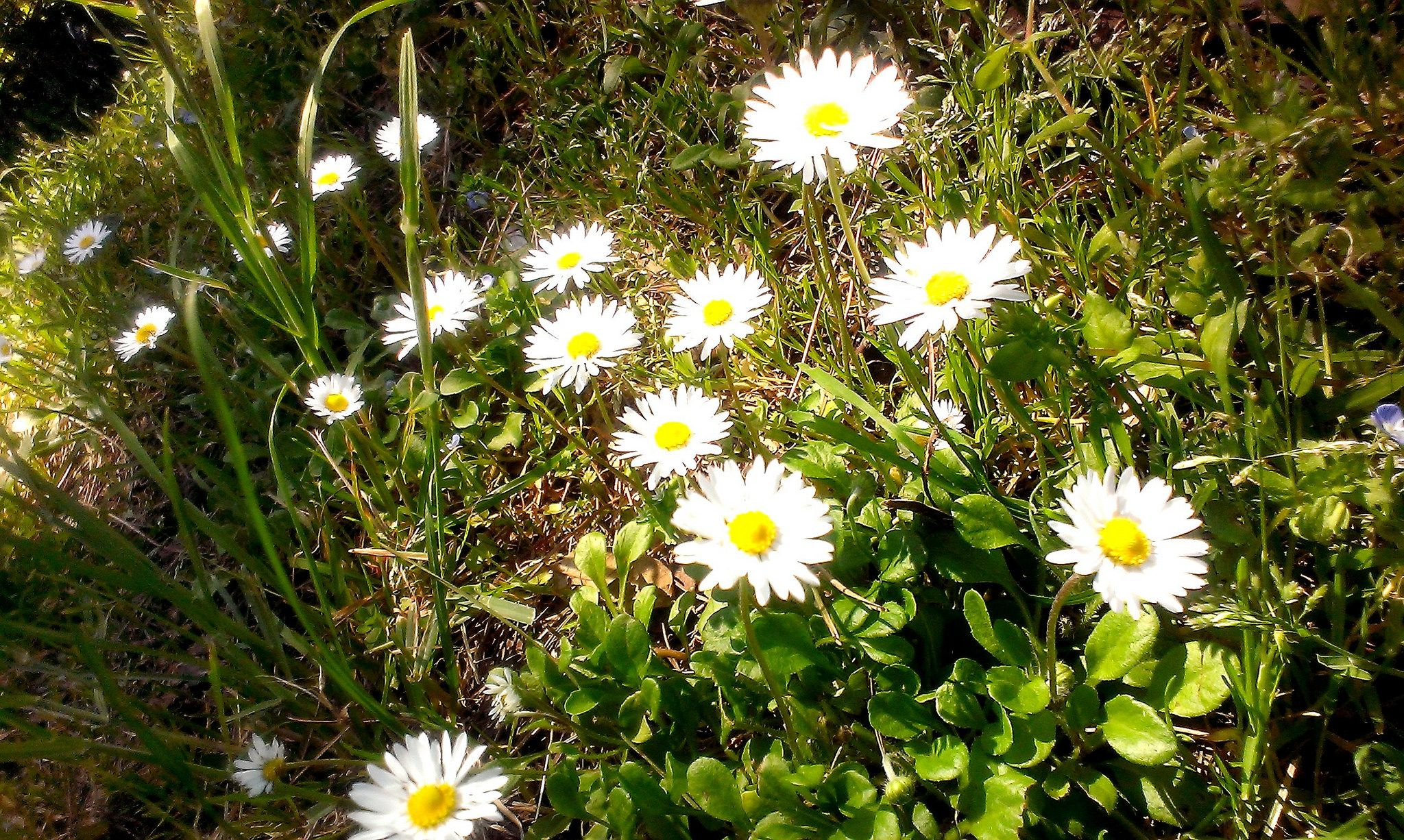https://flic.kr/p/sjJ7A6 | #Primo #pomeriggio #margherite #fiorite sulla Napoli-Canosa #aprile #primavera #natura #fiori #colori
