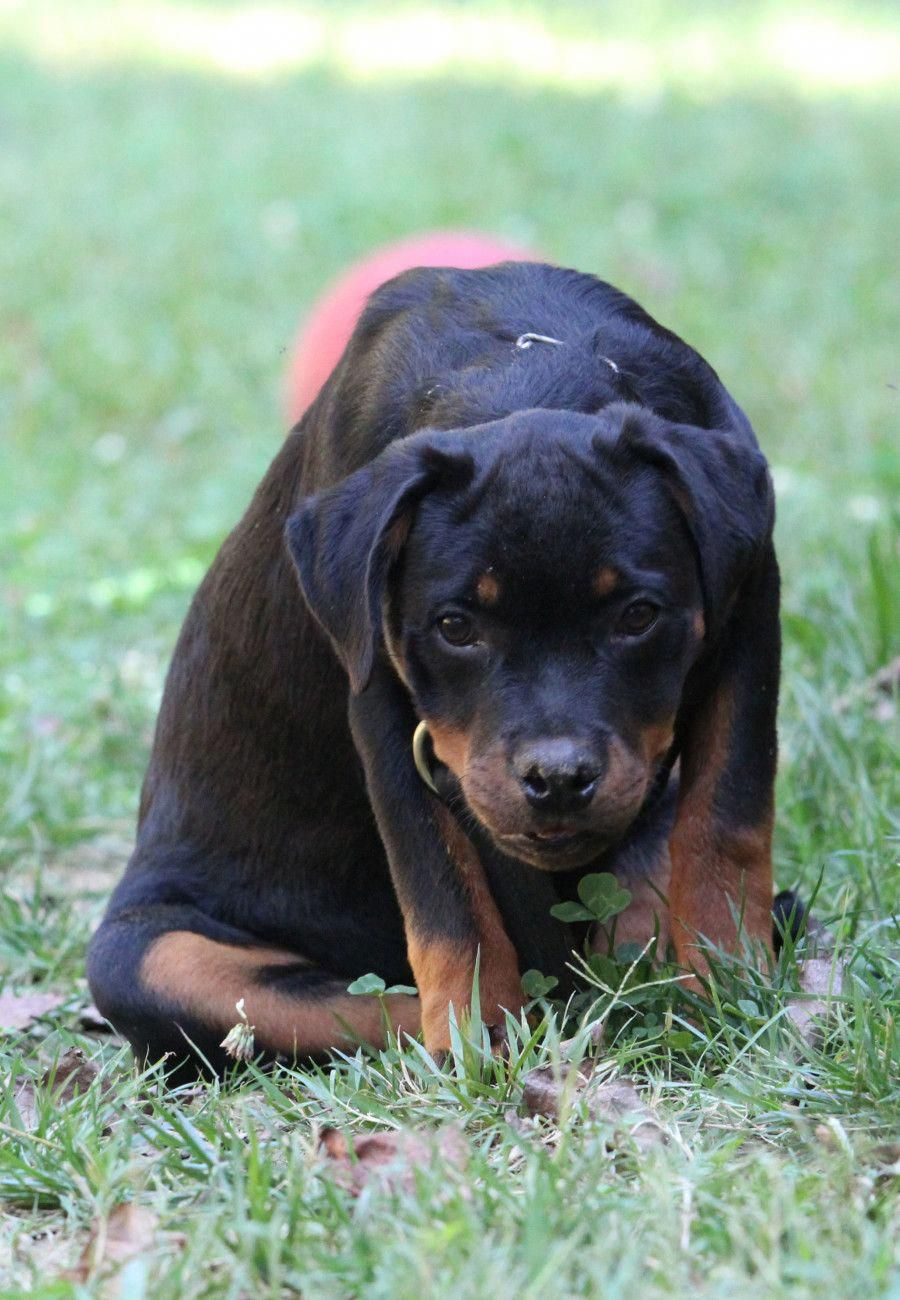 Learn Additional Details On Rottweilers Look Into Our Site