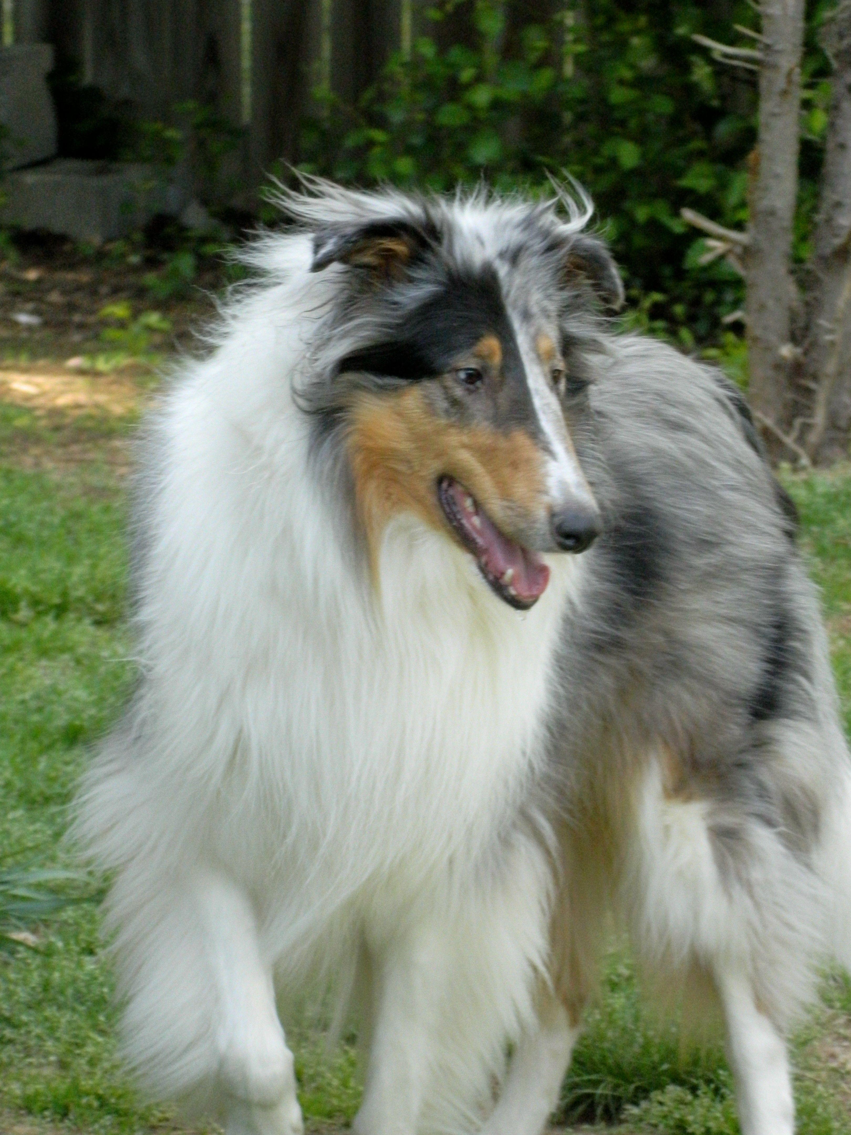 Denzel! Smooth collie, Collie dog, Rough collie