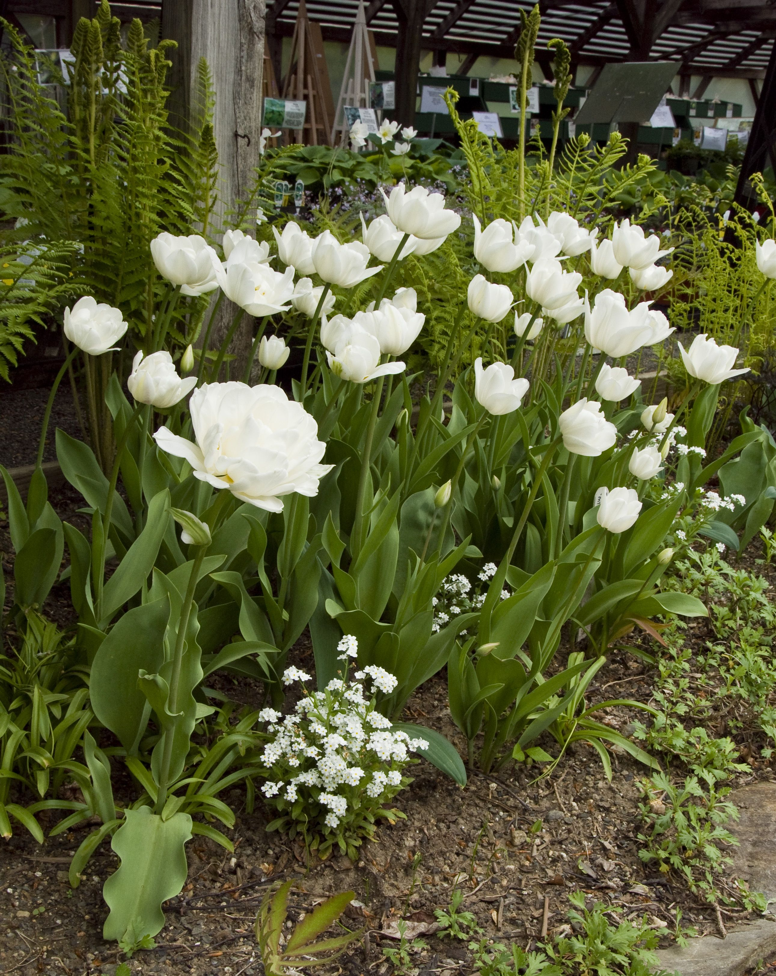 White Tulips In Bloom At White Flower Farm Retail Store White