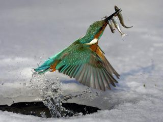 kingfisher bird hd wallpaper