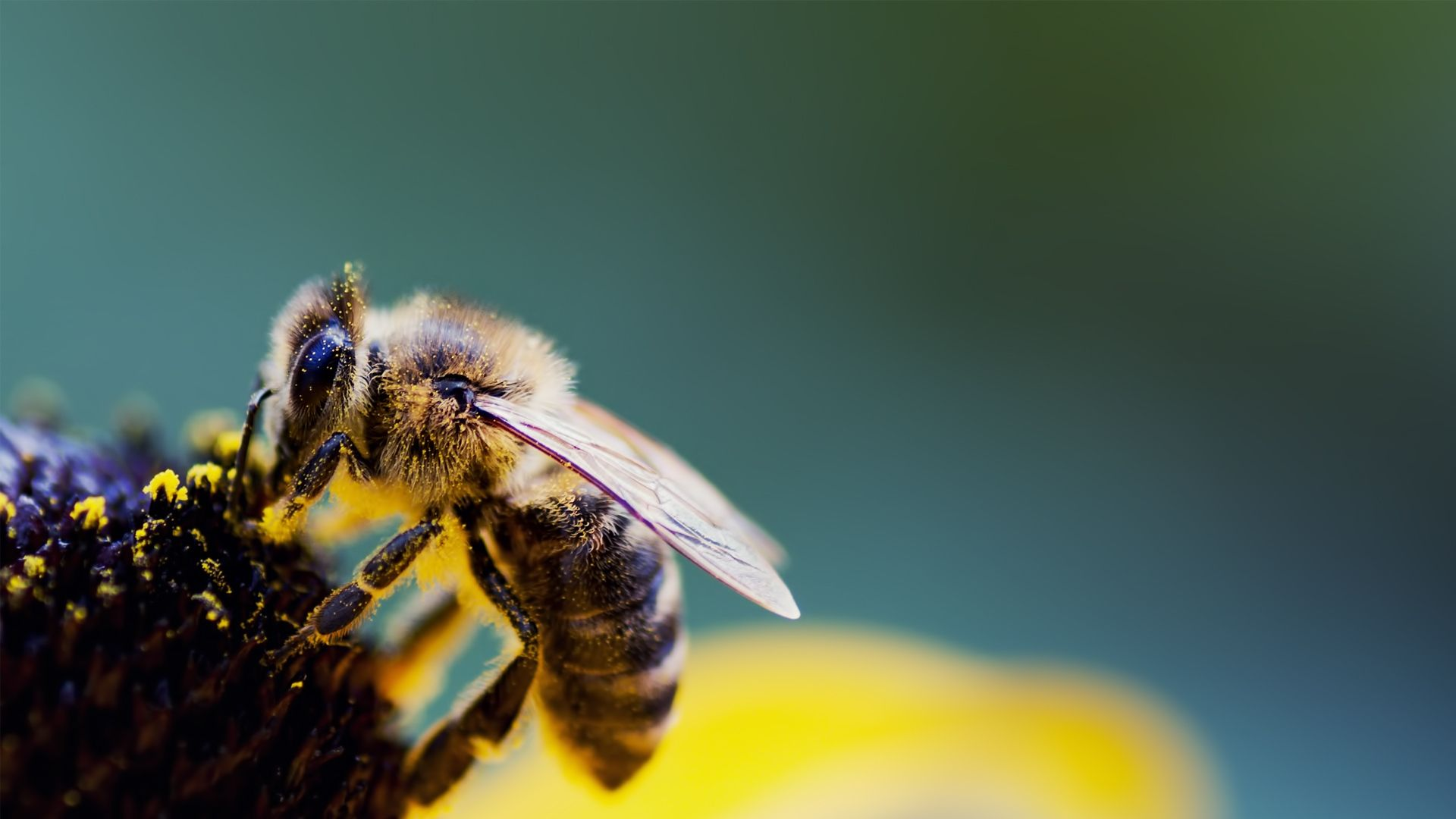 1920x1080 Wallpaper Bee Flower Wings Pollen Pollination