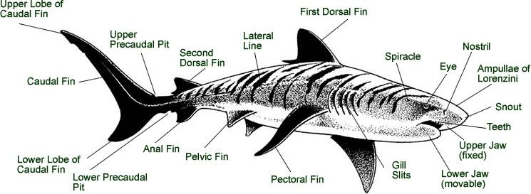 Shark External Anatomy Diagram Of Key Functions Shark Week Shark Information Shark