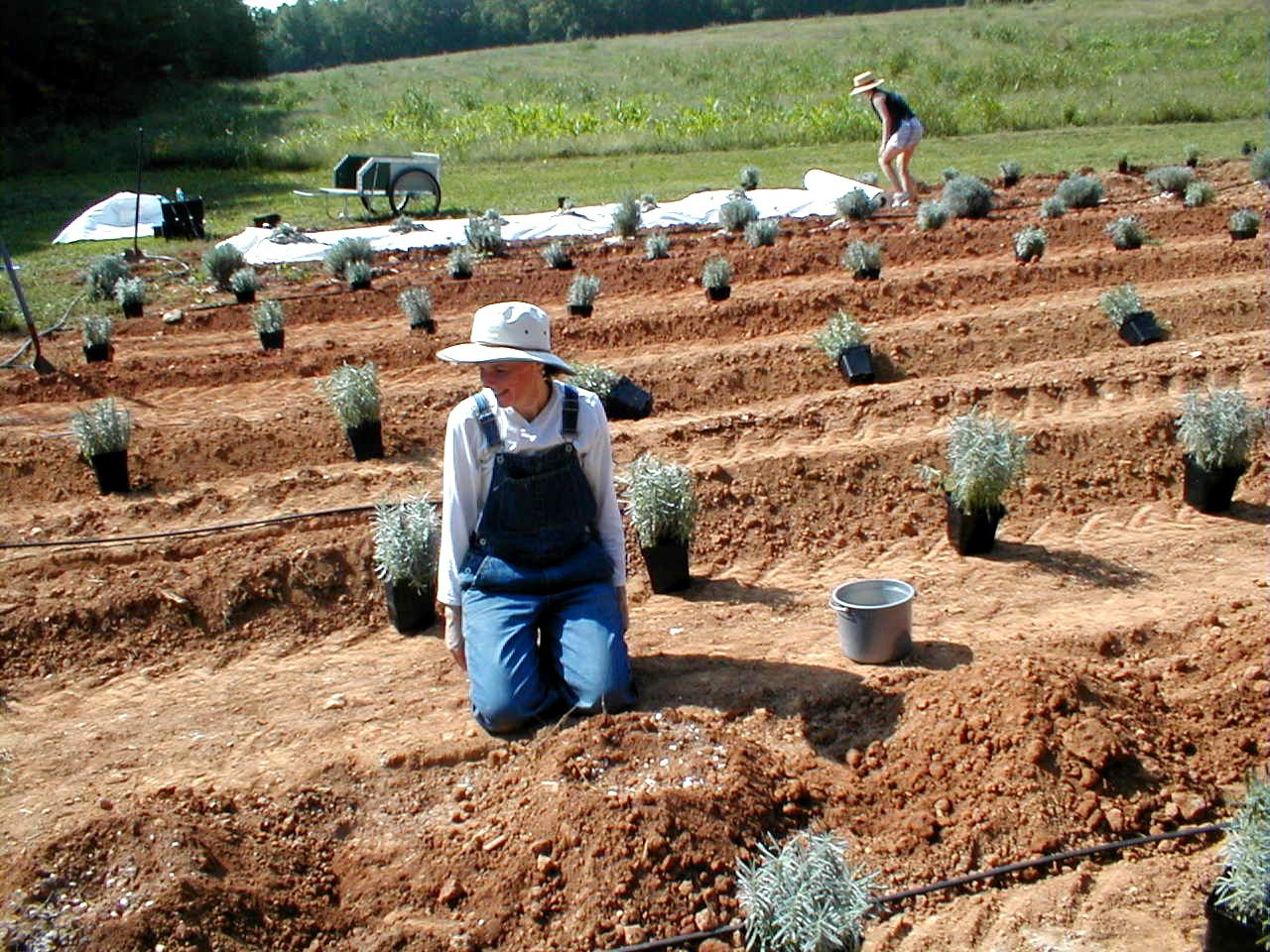 Planting and Caring for Lavender (in the South) Our native