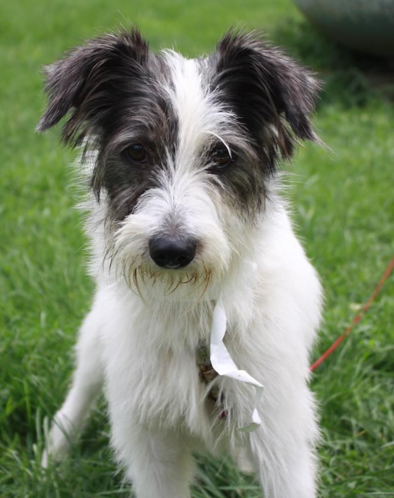 Scout - Wire Fox Terrier mix - 5 months old - Male - Rescue Farm ...