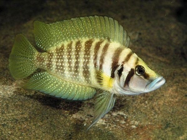 13 Best Algae Eaters For Your Aquarium Keep The Aquarium Clean African Cichlid Aquarium African Cichlids Cichlids