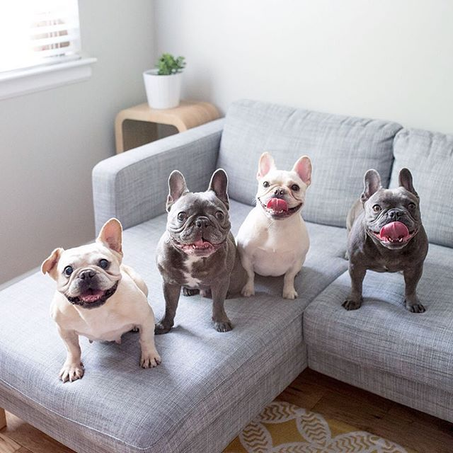 Friends Are The Family You Get To Pick French Bulldogs