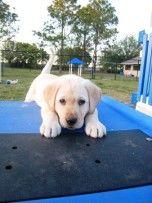 Southeastern Guide Dogs: Best. Summer Internship. EVER. - Bradenton, FL Patch