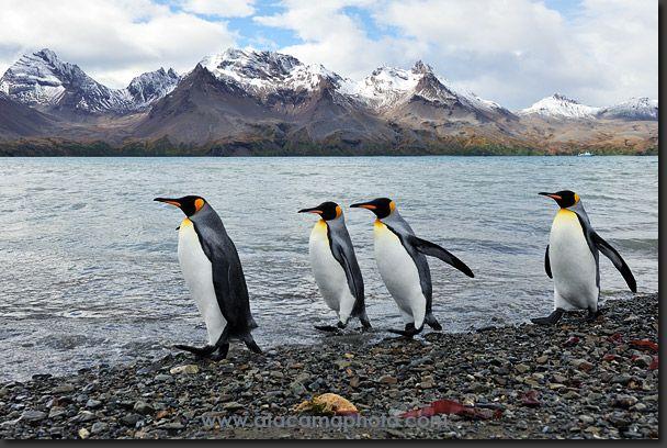 King Penguins at Fortuna Bay