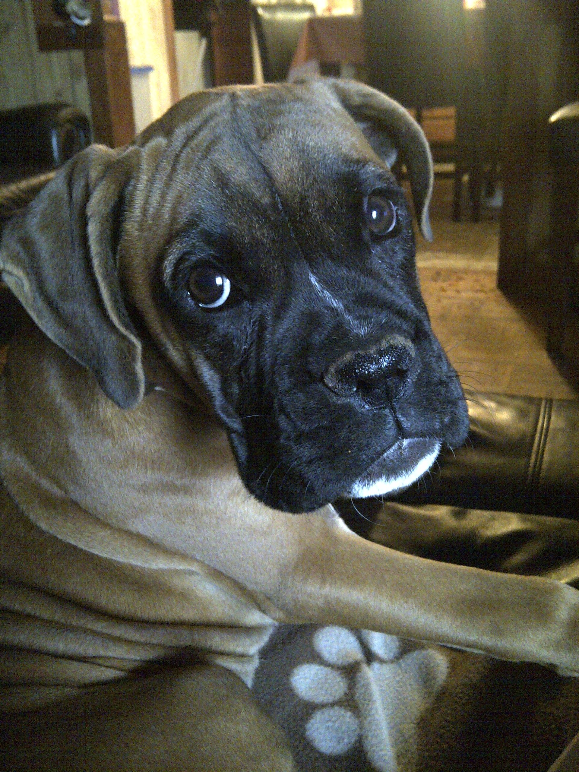 Sasha, one of our boxers