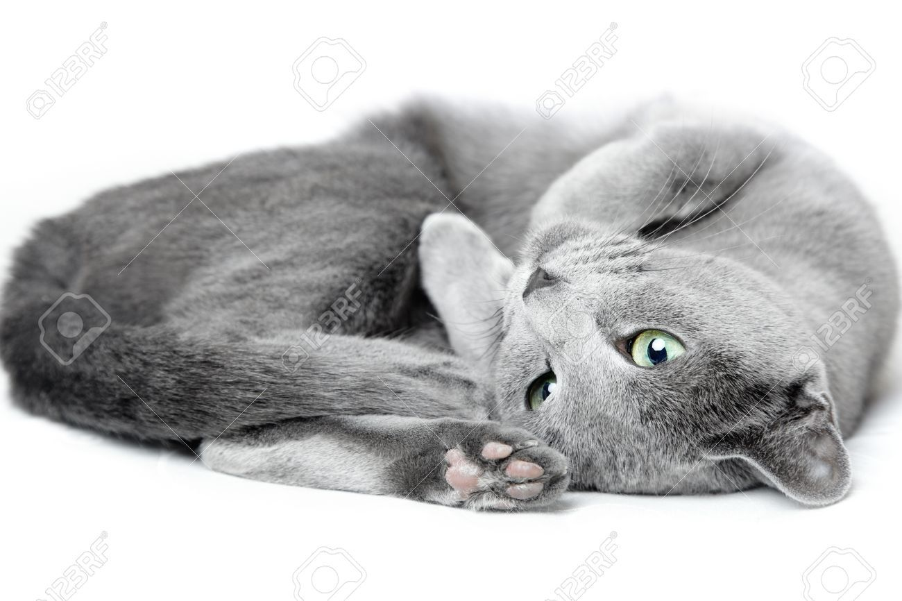 Russian Blue Cat Laying And Pampering A White Background Stock
