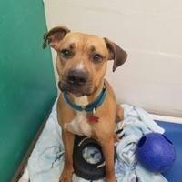 Augusta, Maine Boxer. Meet Parker, a for adoption. https