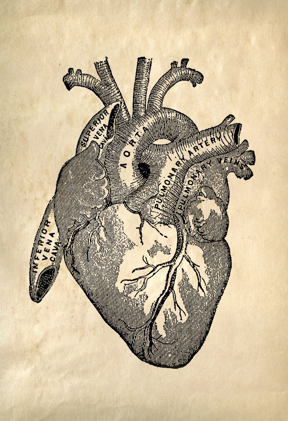 8x10 vintage anatomy print heart 708cv by curiousprints on etsy