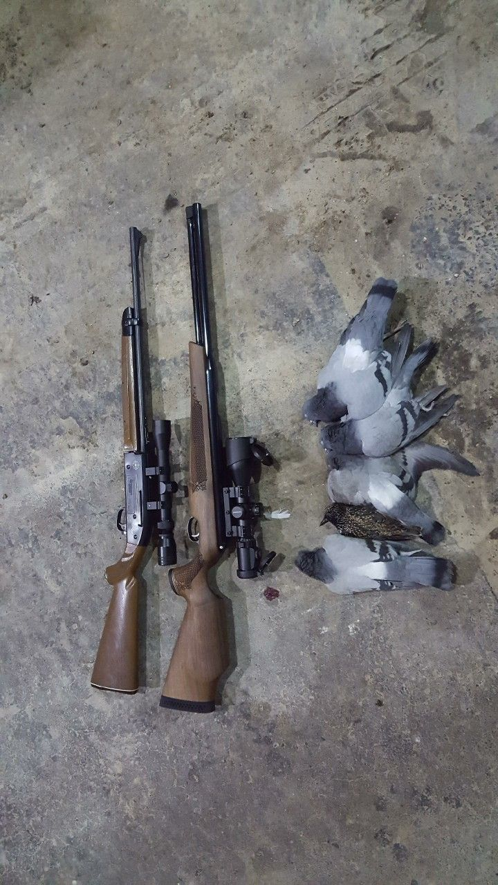 hight resolution of 4 pigeons and a starlingwith the crosman 2100 shooting crosman hollow points and the tx200 with crosman premier domes