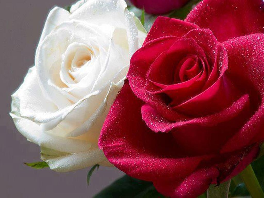 The number symbolism in the case of roses is especially associated the number symbolism in the case of roses is especially associated with red roses and by biocorpaavc