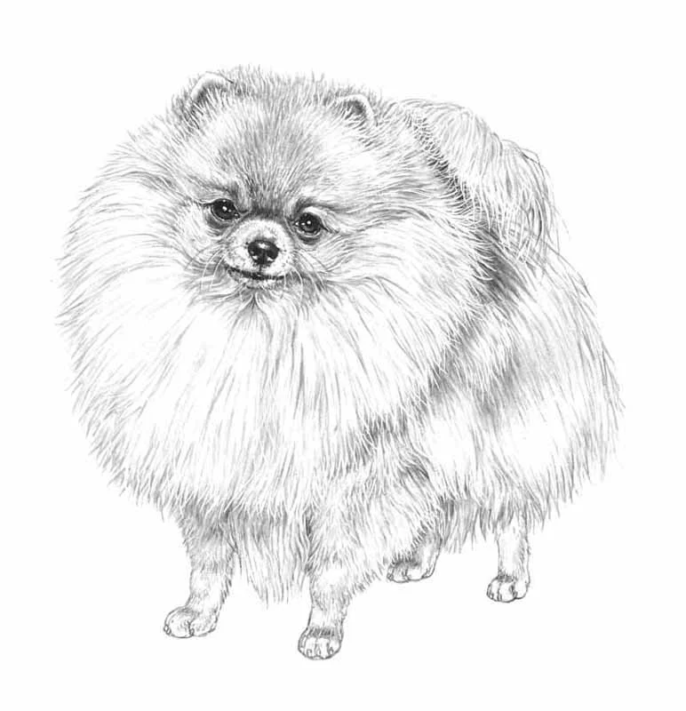 Volpino Pomerania In 2020 With Images Animal Drawings Dog