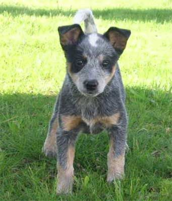 Blue Heeler Puppy One Of My Sweetest Puppies Ever Muffin Heeler Puppies Blue Heeler Puppies Blue Heeler Dogs