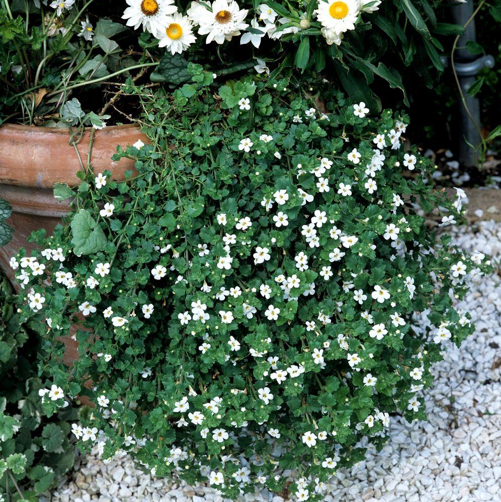 bacopa fleur d 39 ombre exterieur pinterest plantation. Black Bedroom Furniture Sets. Home Design Ideas