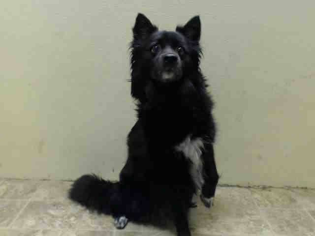 To Be Destroyed 07 06 14 Brooklyn Center My Name Is Lady My Animal Id Is A1004978 I Am A Female Black And White Schipperke Mi With Images My Animal Animals Schipperke