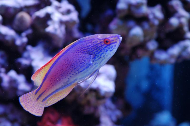 Pin By Christy B On Mia S Aquarium Mandarin Fish Water Animals Marine Fish